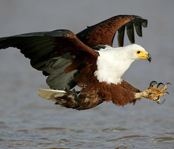 kasouga-fish-eagle