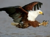 kasouga-fish-eagle